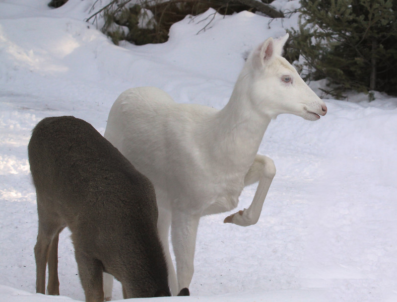 """ Cold Feet ""  Wild Albino White-tailed Deer"