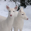 """  It's Just the Two of Us  ""  Wild Albino White-tailed Deer of Boulder Junction Wisconsin"