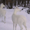 """Can You See What I See? ""  2  Wild Albino White-tailed Deer"