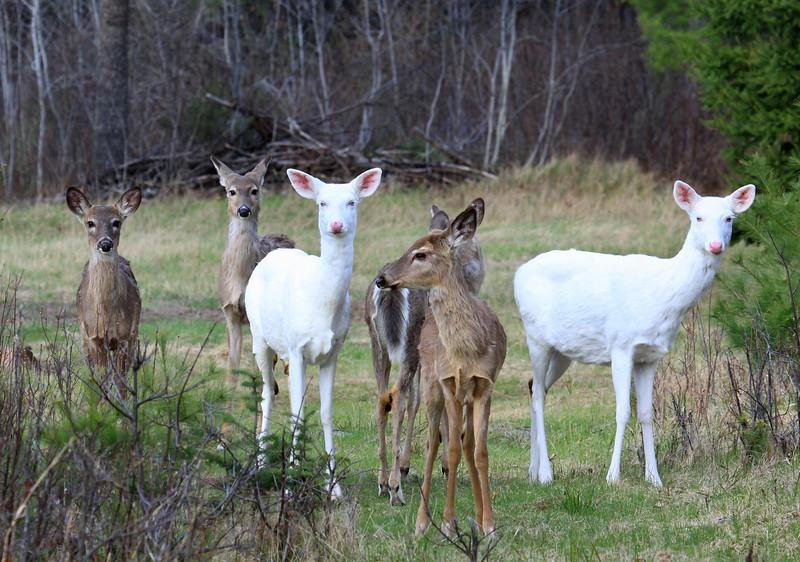""" The Wild Deer Wander Here "" Wild Albino Whitetail Deer"