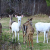 """ The Wild Deer Wander Here "" Wild Albino Whitetail Deer"