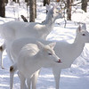 """A Winter Walk Down the Deer Trail""  Wild Albino whitetail deer of Boulder Junction Wisconsin"