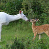 """Lay a Little Loving On Me""  Wild Albino whitetail deer with her baby fawn near Boulder Junction Wisconsin"