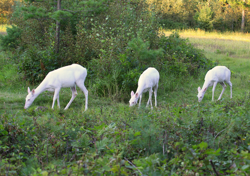 """ One Two Three  ""  Wild albino whitetail deer of Boulder Junction Wisconsin."