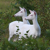 """Do You See What I See?""  Wild Albino whitetail deer of Boulder Junction Wisconsin"