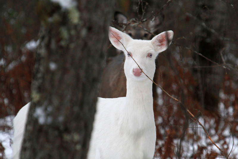 Blue Eyes and Her Shadow 2   Wild Albino deer of Boulder Junction Wisconsin