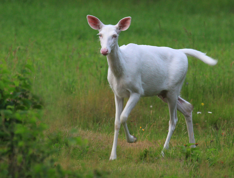 """ Running Wild ""  Wild Albino whitetail deer near Boulder Junction Wisconsin"