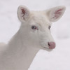 """ White on White""  Wild Albino whitetail deer of Boulder Junction Wisconsin"