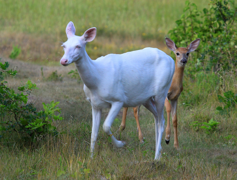 """ Proud New Mother ""  Wild Albino whitetail deer with here new brown whitetail fawn. A real miracle of nature!<br /> To see a You Tube Video of this special event here is a link:  <a href=""http://www.youtube.com/user/mmnorthwoods"">http://www.youtube.com/user/mmnorthwoods</a>"