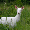 Wild One  3   Wild Albino whitetail deer of Boulder Junction Wisconsin
