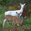 """ We are a Family""  Wild Albino whitetail deer of Boulder Junction Wisconsin"