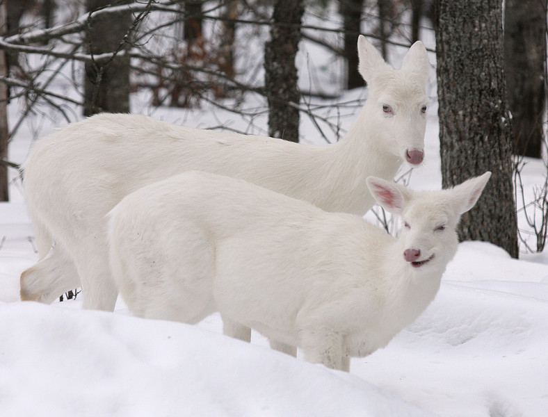 """  Funny Girl ""  Wild Albino whitetail deer of Boulder Junction Wisconsin"
