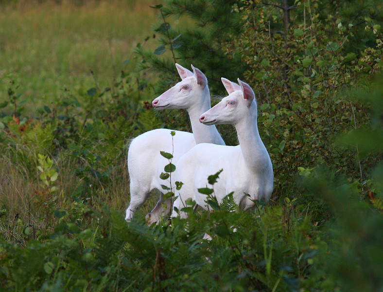 """  Do You See What We See?  ""  Wild Albino whitetail deer of Boulder Junction Wisconsin"