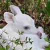 Albino Fawn Sitting Pretty