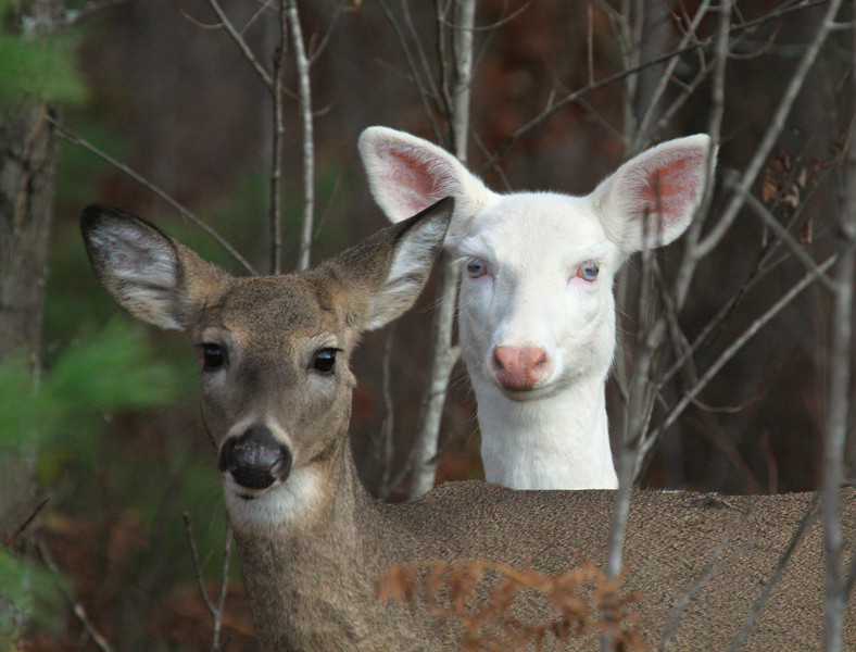 """ Stand By Me "" 2  Wild Albino whitetail deer of Boulder Junction Wisconsin"