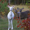 """ We Love Autumn Colors Too ""  Wild Albino whitetail deer of Boulder Junction Wisconsin"
