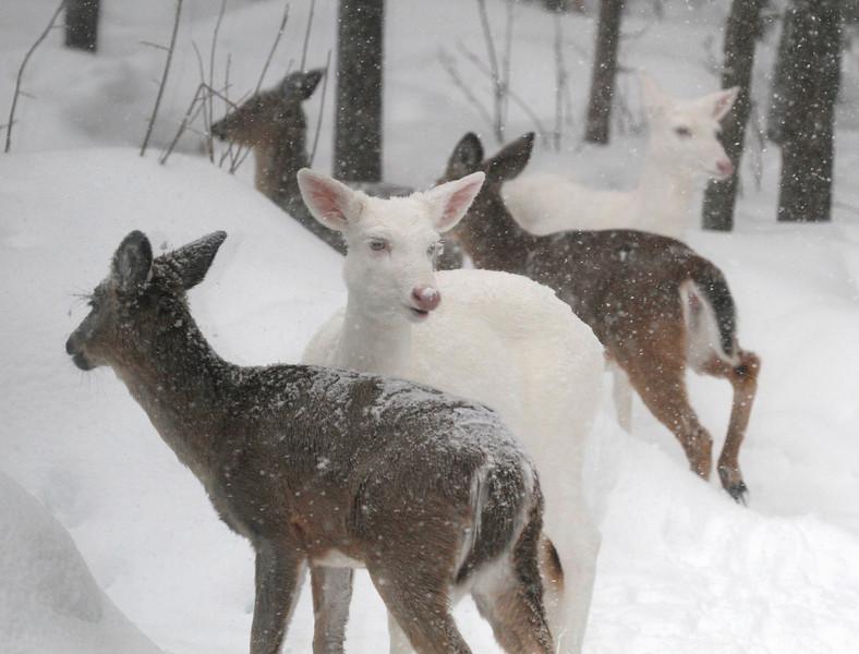 Albino Winter Warriors