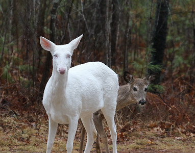 Spirit and Her Fawn are Sticking Around   1