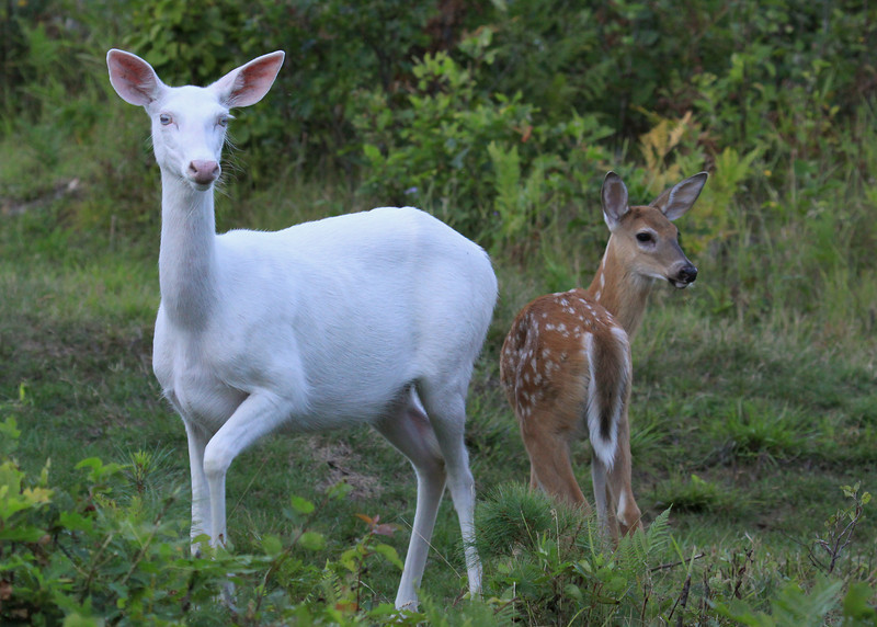 """ We're All Eyes and Ears""  Albino whitetail deer of Boulder Junction Wisconsin with her brown whitetail fawn."