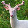 """  Wild Albino Whitetail Buck of Boulder Junction Wisconsin"""