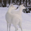 """Can You See What I See? ""  Wild Albino White-tailed Deer"