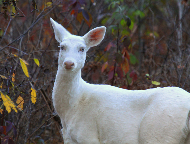 """ Blue Eyes on an Autumn Strool ""  Wild Albino Whitetail deer of Boulder Junction Wisconsin"