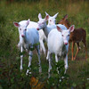 """ The Wild Bunch ""  Wild Albino whitetail deer of Boulder Junction Wisconsin"