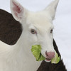 """ Cabbage Patch Doll  2""  Wild albino whitetail deer of Boulder Junction Wisconsin"