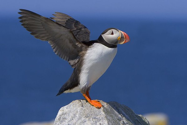 This incoming flying Atlantic Puffin photograph was captured at Machias Seal Island in Maine  (7/05).   This photograph is protected by the U.S. Copyright Laws and shall not to be downloaded or reproduced by any means without the formal written permission of Ken Conger Photography.