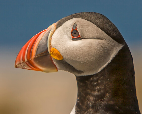 This Atlantic Puffin photograph was captured at Machias Island in Maine (7/05).  This photograph is protected by the U.S. Copyright Laws and shall not to be downloaded or reproduced by any means without the formal written permission of Ken Conger Photography.