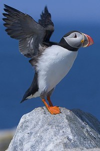 This Atlantic Puffin photograph was captured at Machias Seal Island in Maine.  Was lucky when this puffin decided to perch on a rock adjacent to my blind.  Just before he took off I captured this image (7/05).  This photograph is protected by the U.S. Copyright Laws and shall not to be downloaded or reproduced by any means without the formal written permission of Ken Conger Photography.