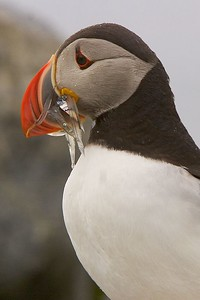 This Atlantic Puffin photograph was captured at Machias Seal Island in Maine.  Watched this puffin arrive adjacent to my blind with a mouth full of fish for her chick and she quickly disappeared into the nest in the rocks (7/05).  This photograph is protected by the U.S. Copyright Laws and shall not to be downloaded or reproduced by any means without the formal written permission of Ken Conger Photography.