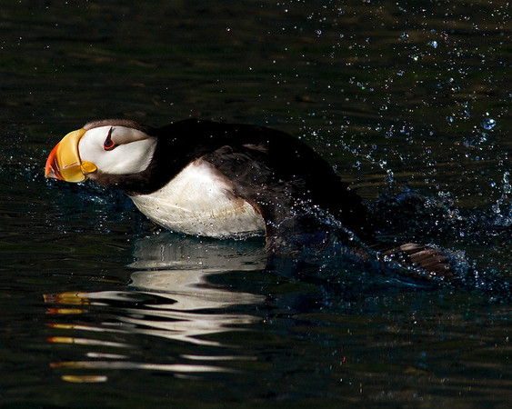 This taking Horned Puffin photograph was captured in Kenai Fjords National Park, Alaska (7/10).  This photograph is protected by the U.S. Copyright Laws and shall not to be downloaded or reproduced by any means without the formal written permission of Ken Conger Photography.