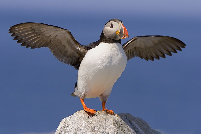 This Atlantic Puffin photograph was captured at Machias Seal Island in Maine (7/05).  This photograph is protected by the U.S. Copyright Laws and shall not to be downloaded or reproduced by any means without the formal written permission of Ken Conger Photography.