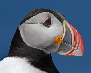 This Atlantic Puffin head photograph was captured at Machias Seal Island in Maine (7/05).  This photograph is protected by the U.S. Copyright Laws and shall not to be downloaded or reproduced by any means without the formal written permission of Ken Conger Photography.