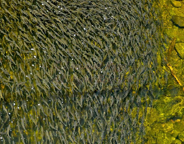 Thousands of alewives swim upstream at Damariscotta Mills, Maine