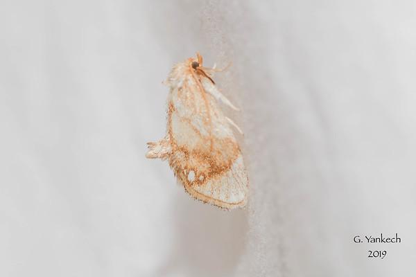 Jeweled Tailed Slug, Packardia geminata