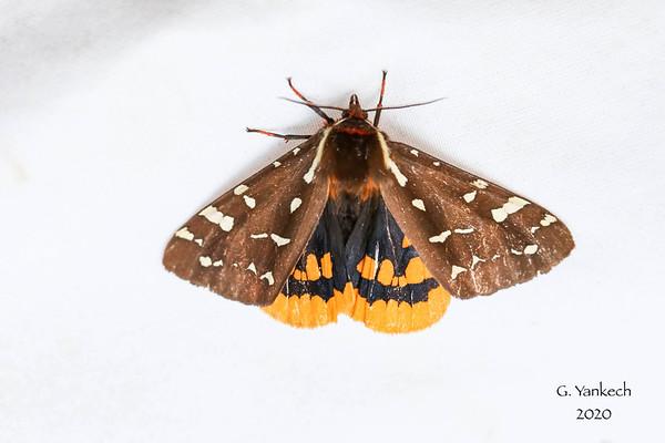 St. Lawrence Tiger Moth,  Arctia parthenos
