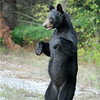 Wild Black Bear standing on hind legs in Ontario, Canada.