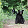 Black Bears in Ontario, Canada.