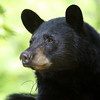 Black Bear in Ontario, Canada