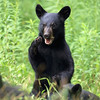 Wild Black Bear Cub in Ontario