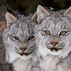 Wild Canada Lynx Kittens in Northern Ontario, Canada.