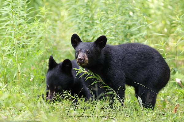 Black Bear Cubs in Ontario, Canada
