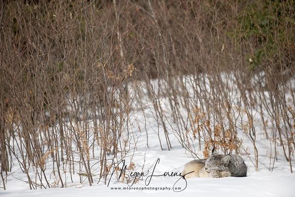 Wild Canada Lynx curled up sleeping in Ontario, Canada.