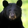Wild Black Bear Sow in Ontario, Canada