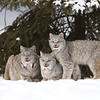 Wild Canada Lynx Female with her two kittens in Northern Ontario, Canada.