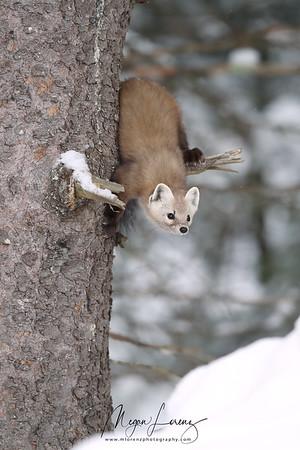 American Marten in Algonquin Provincial Park in Ontario, Canada.