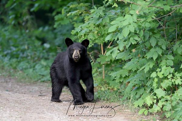 Black Bear Cub in Ontario, Canada.