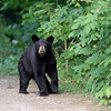 Black Bear Cub in Ontario, Canada.